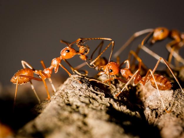 Mrówki niosą jedzenie i spacery na drzewie w naturze na czarnym ciemnym tle