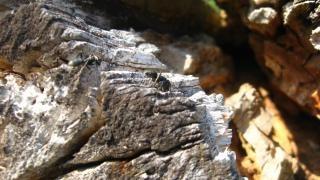 Mrówki owady