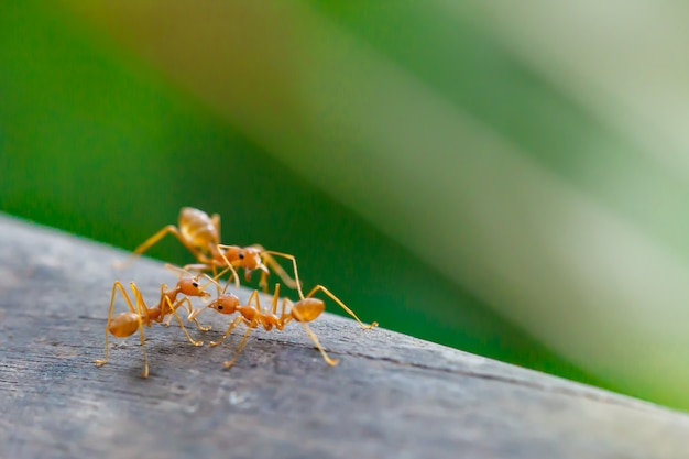 Mrówki pozycja na drewnianym podłogowym tle