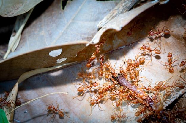 Mrówki pracy zespołowej przenoszą dżdżownicę do żywności