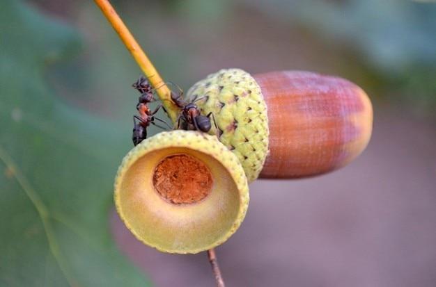 Mrówki żołędzie makro