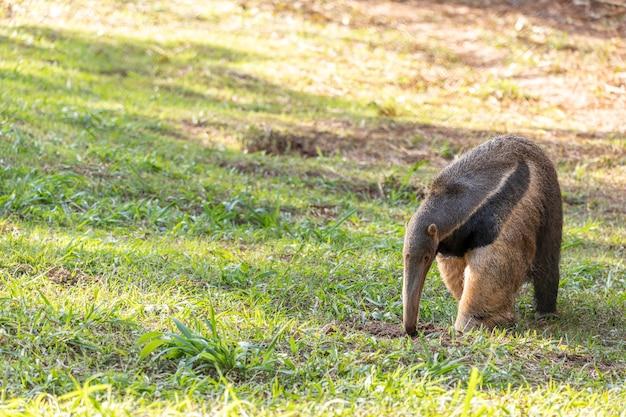 Mrówkojad, urocze zwierzę z brazylii. mrówkojad olbrzymi, myrmecophaga tridactyla, zwierzę z długim ogonem i pyskiem kłody