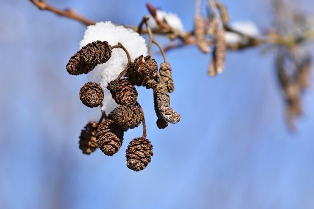 Mróz i śnieg na gałęziach. pięknej zimy sezonowy tło. piękna natura.