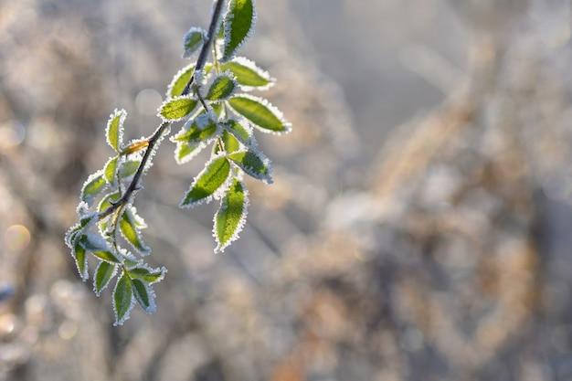 Mróz na gałęziach. pięknej zimy sezonowy naturalny tło.