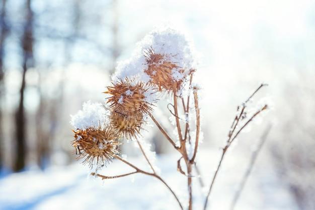 Mroźna łopianowa trawa w śnieżnym lesie. zimna pogoda w słoneczny poranek