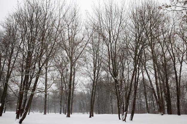 Mroźna zima w parku lub lesie podczas mrozów, drzewa liściaste bez liści w sezonie zimowym, sezon zimowy ze śniegiem w parku lub lesie