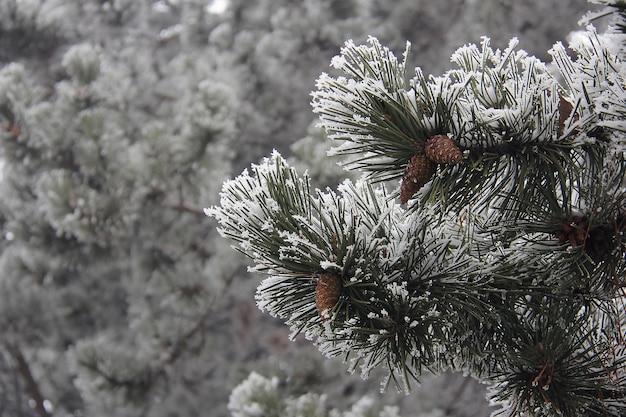 Mroźne szyszki zwisające z wiecznie zielonych gałęzi z długimi igłami pokrytymi śniegiem. koncepcja dekoracji świątecznej.