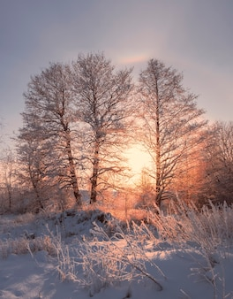 Mroźny zimowy wieczór, drzewa w śniegu i szron na tle zachodzącego słońca i słonecznej aureoli