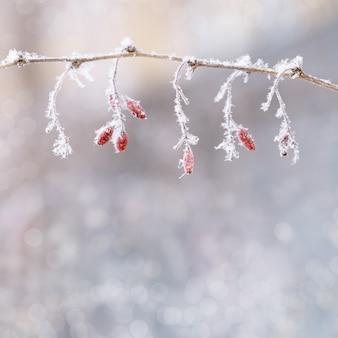 Mrożone czerwone jagody berberysu naturalnego tła zimowego