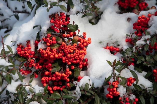 Mrożone czerwone jagody głogu na gałęzi pod śniegiem w zimie