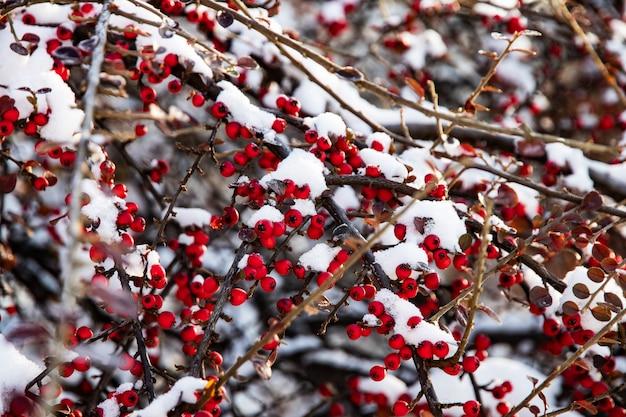 Mrożone czerwone jagody głogu na gałęziach pod śniegiem w lesie