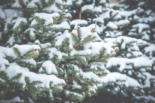 Mrożone gałęzie iglaste w białą zimę. burza śnieżna.