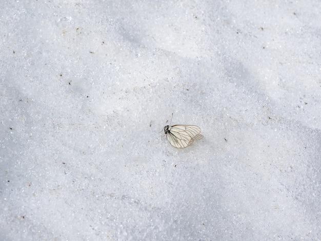 Mrożony martwy biały motyl na śniegu. odmrożenie na lodowcu wysoko w górach.