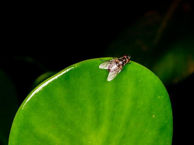 Mucha domowa (musca domestica) na zielonym liściu.