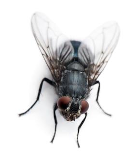 Mucha domowa - musca domestica