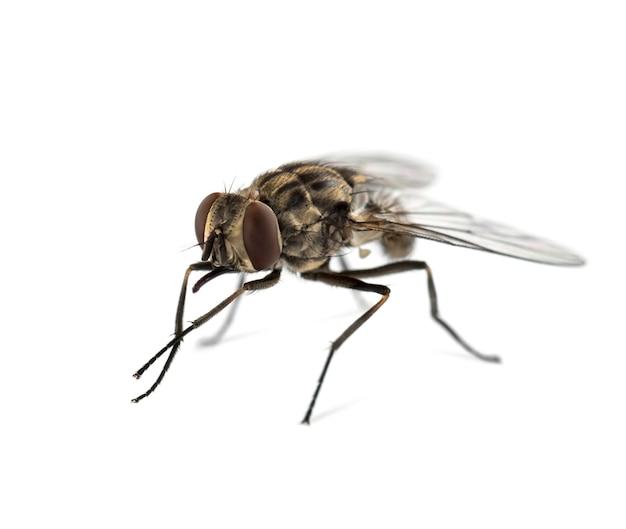Mucha domowa, na białym tle