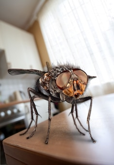 Mucha domowa siedzi na stole w kuchni