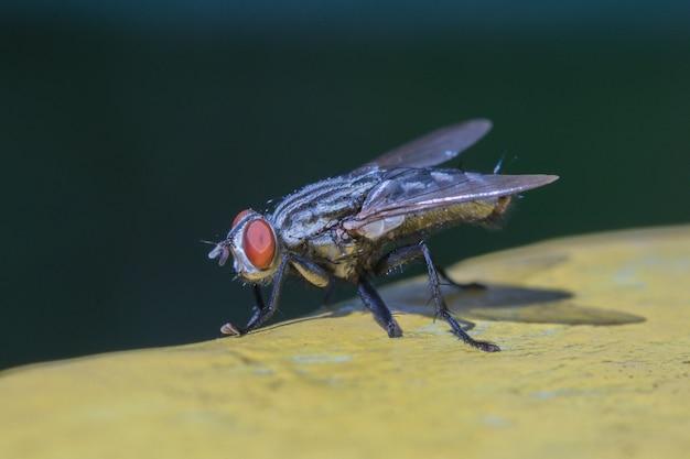 Mucha domowa w żółtym i czarnym tle, makro- zbliżenie, kosmata domowa komarnica.