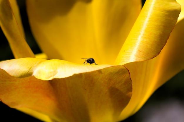 Mucha siedząc na żółtych płatkach kwiatu