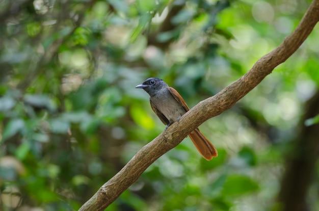 Muchołówka azjatyckiego raju perching na gałęzi