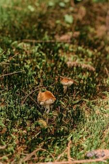 Muchomor grzyby. ukraińskie karpaty