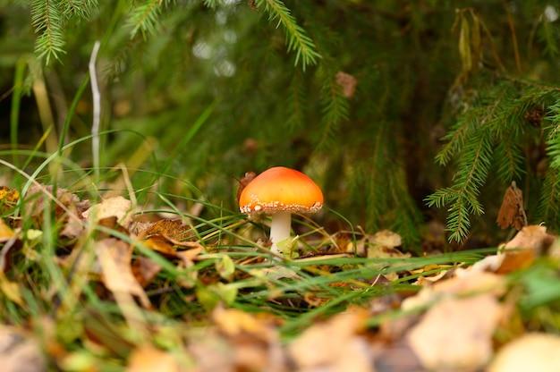 Muchomor muchomor w trawie na jesień las. toksyczny i halucynogenny czerwony trujący grzyb amanita muscaria makro z bliska w środowisku naturalnym