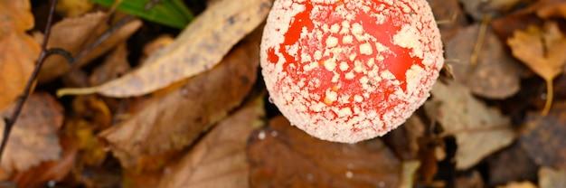 Muchomor muchomor w trawie na tle lasu jesienią. toksyczny i halucynogenny czerwony trujący grzyb amanita muscaria makro z bliska w środowisku naturalnym. . widok z góry