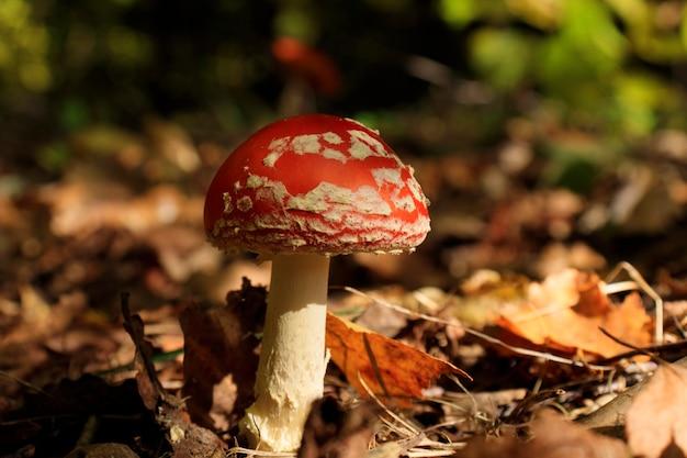 Muchomor muscaria, muchomor muscaria. trujący grzyb z czerwoną czapką w białe plamki. koncepcja przyrody, tło przyrody.