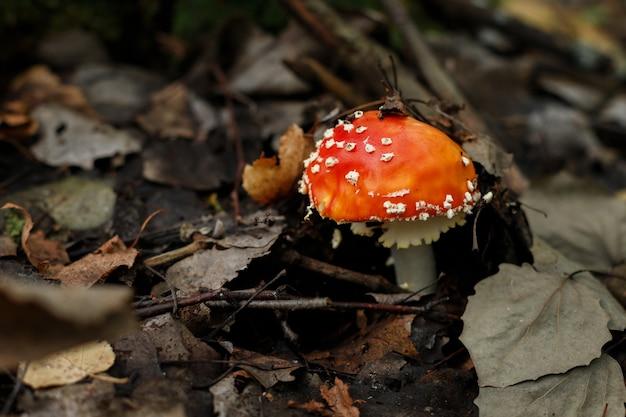 Muchomor rośnie jesienią. trujący grzyb
