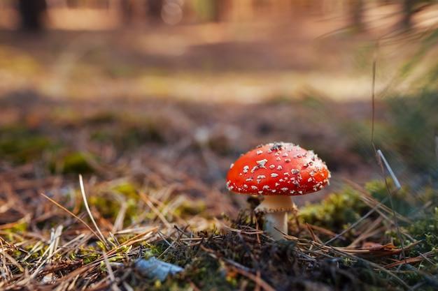 Muchomor rośnie w lesie jesienią. ścieśniać