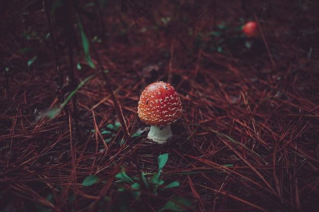 Muchomor w kolorze brzoskwiniowym