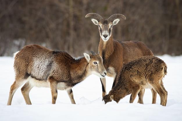 Muflon drzewny, ovis orientalis, żerujący na śniegu w przyrodzie zimą