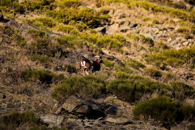 Muflony w capcir, pireneje, francja