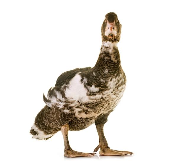 Mulard duck w studio