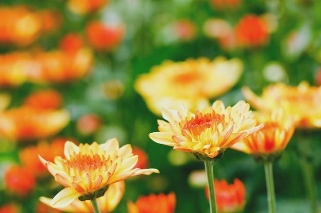 Multi kolor chryzantemy w ogrodzie