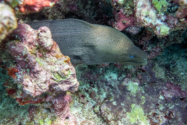 Murena ukrywa się w kamieniu rafy koralowej na tropikalnym morzu