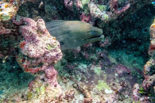 Murena ukrywa się w kamieniu rafy koralowej