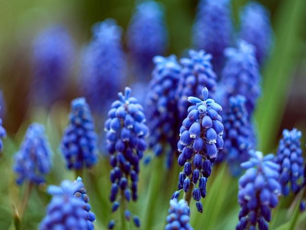 Muscari armeniacum roślina o niebieskich kwiatach.