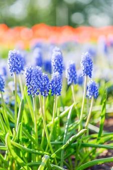 Muscari hiacynt winogronowy, wczesna wiosna kwiaty na jasnej przyrodzie