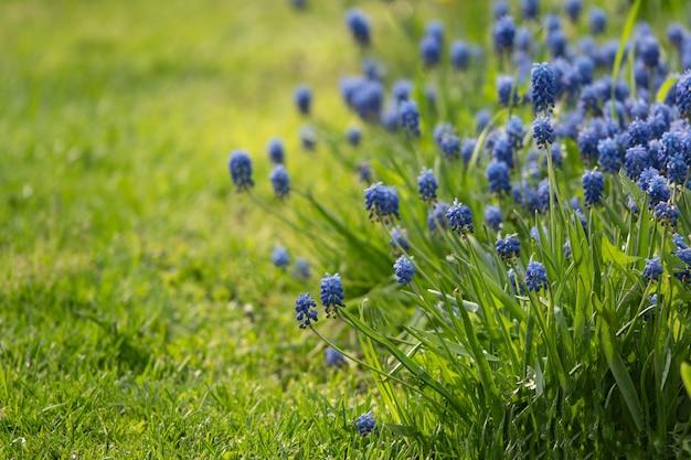Muscari kwitnie w ciepłym świetle słonecznym na zamazanym tle