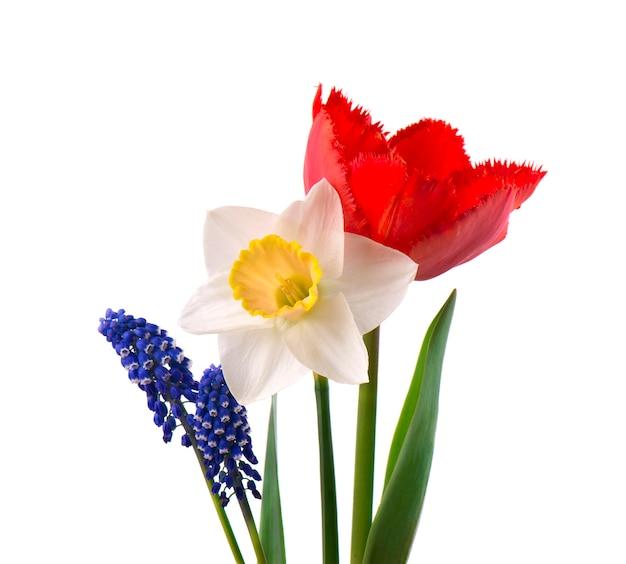 Muscari, narcyz i czerwony tulipan z zielonymi liśćmi, odosobnionymi na biel przestrzeni