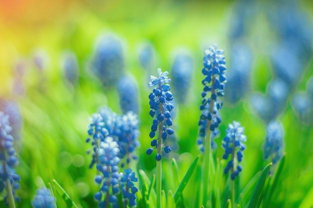 Muscari pąki kwiatowe w ogrodzie