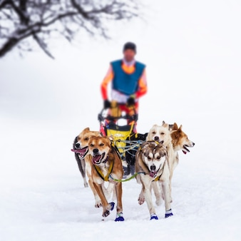 Musher dogteam driver i siberian husky w wyścigu konkurencji zimowych śniegu w lesie