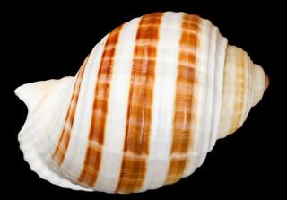 Muszla cockle shell