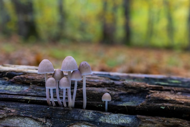 Mycena sp małe grzyby w kasztanowym lesie