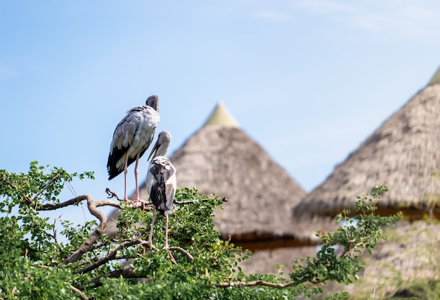 Mycteria ptaki na drzewie w safari parku