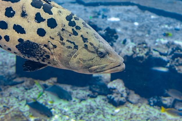 Mycteroperca rosacea (lampart lampart) w dużym akwarium to grouper z wschodnio-środkowego pacyfiku. dorasta do 86 cm długości. sanya, wyspa hainan, chiny.