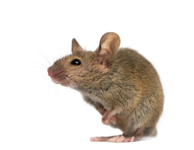 Mysz drzewna przed białą powierzchnią