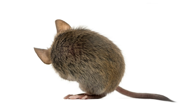Mysz drzewna sama czyści się przed białą powierzchnią