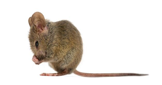 Mysz leśna czyści się sama przed białą powierzchnią